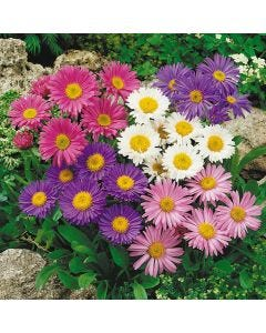 Dwarf Asters Mixed