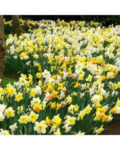 Daffodil and Narcissi Mixed