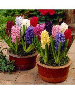 Top Size Hyacinths Mixed