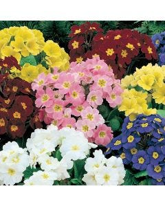 Polyanthus Crescendo Rainbow Mixed