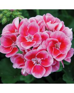 6 Geranium Grandeur Rose Splash