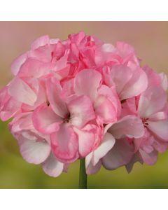 6 Geranium Grandeur Blush Pink