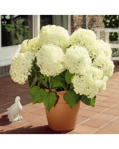 Hydrangea Annabelle