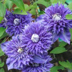 Clematis Multi Blue