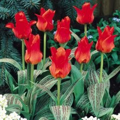 Tulip Red Riding Hood
