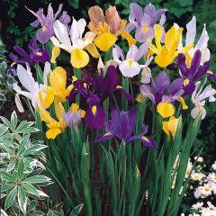 Iris Dutch Mixed