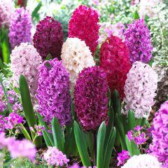 Hyacinth Passion Mixed