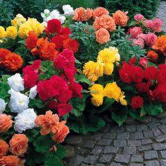 15 Non Stop Begonia Collection