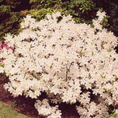 Diamond Azalea White