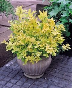 Spiraea Japonica Gold Flame